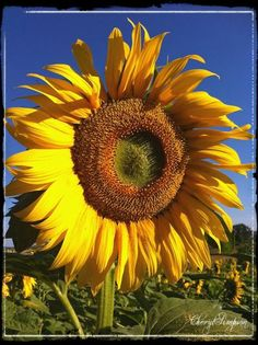 The biggest sunflowers you have ever seen surround the chateau....