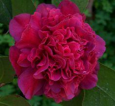 "Camellia japonica ""Takanini"""