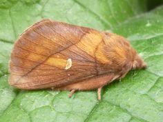 Moth - can anyone identify? Shell Island, Moth, Shells, Canning, Animals, Conch Shells, Animales, Animaux, Seashells