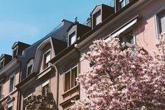 lieblicht - Zurich - blooming magnolia trees