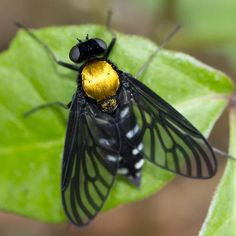 Golden-backed Snipe Fly (Chrysopilus thoracicus)  …a species of snipe fly (Rhagionidae) distributed throughout eastern North America. Adult C. thoracicus typically inhabit Deciduous woodlands and are active during spring