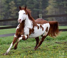 Paint Stallion