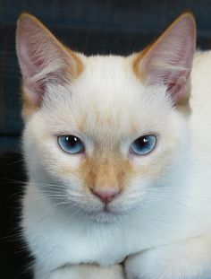 Marshmallow Flame Colorpoint Shorthair Fire and Ice Cute Cats And Kittens, Baby Cats, I Love Cats, Cool Cats, Kittens Cutest, Pretty Cats, Beautiful Cats, Colorpoint Shorthair, Gatos Cat