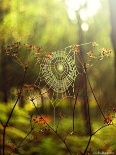 Spider web in the forest captured in enchanting photos by Guillermo Carballa Art Et Nature, All Nature, Amazing Nature, Nature Photos, Enchanted, Spider Art, Spider Webs, Spider Silk, Affinity Photo