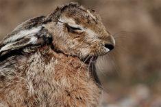 Sleepy Hare - Havergate Island - Havergate Island - The RSPB Community