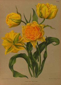 Tulipa hort. Eeden, A.C. van, Album van Eeden, Haarlem's flora, afbeeldingen in kleurendruk van verschillende bol- en knolgewassen, p. 20, t. 28 (1872-1881)
