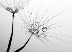 Dandelion seed macro Royalty Free Stock Photo