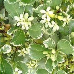 Pittosporum - Pitosporo - Pittosporaceae - Como curar y cultivar ...