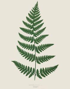 Fern Print Plate 6 от michaelellisstudios на Etsy Vintage Botanical Prints, Botanical Drawings, Botanical Art, Vintage Botanical Illustration, Botanical Gardens, Illustration Botanique, Plant Illustration, Plant Tattoo, 1 Tattoo