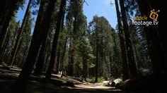 #Beautiful #nature of #YosemiteNationalPark - here #MariposaGrove #USA @ http://www.stock-footage.tv  #filmmaking #stock