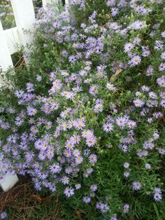 "Masses of asters  ""October Skies"""