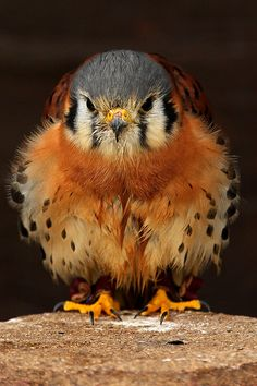 American Kestral or Sparrow Hawk  (Falco sparverius)  is a small falcon, and the only kestrel found in the Americas.