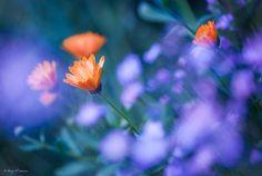 Flower Dreams by Bareq Al-Samarrai on 500px