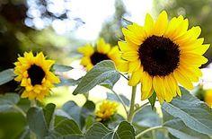 Sunflowers au naturel