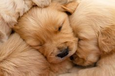 Awwww! Aren't these sleeping #GoldenRetriever #puppies precious?...found on fundogpics.com