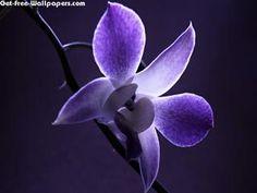 Download Purple Single Orchid Flower Nature HD Desktop Wallpaper for Widescreen Monitors