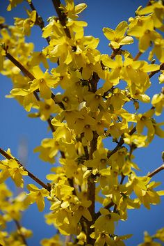 I've always loved forsythia.  When I was a kid, we called them the Brooklyn flower.  I used to love to bring them home and put them in my altar to Mary, always in time for May, which is her month.