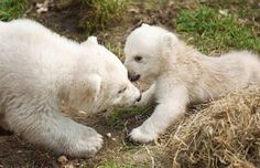 Click here to see adorable baby polar bears! Baby Polar Bears, Baby Animals, Cute Animals, Love Bear, Puppy Love, Cubs, Pet Birds, Twins, Cute Babies