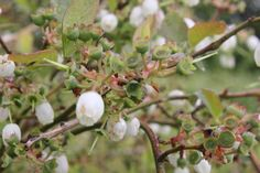 Blueberries and their flowers in spring 2014 at Lavender Backyard Garden, Hamilton, New Zealand