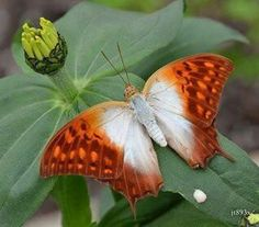 Butterfly Orange And White On Green Leaf.