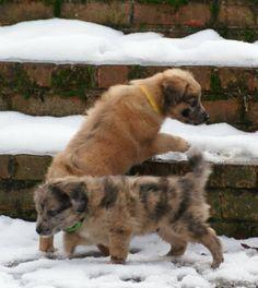 Pyr Shepherd pups.