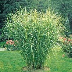 Zebra Grass. Midsummer foliage develops distinctive golden horizontal bands. Silvery white plumes appear late summer and last through winter. Grows 4-7' tall, spreads 3-5'. This drought tolerant accent is exceptional alone, in groupings or dried in arrangements.