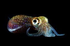 This is a bobtail squid, just about the cutest thing ever.