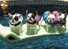 on a raft in the pool. always always have a life jacket on your Frenchie near the water!