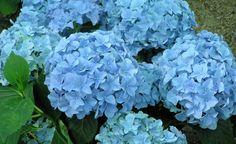 Hortensien-Blüten blau färben – so klappt es garantiert! -  Bauern-Hortensien mit blauen Blüten wirken besonders edel. Diesen Farbton zeigen sie allerdings nur, wenn die Rahmenbedingungen stimmen. So färben Sie Ihre Hortensien blau.