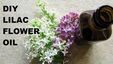 Lilacs smell heavenly...If you want to capture the essence of lilac blooms for your homemade cosmetics, it's easy to make your own organic lilac oil...Only 2...