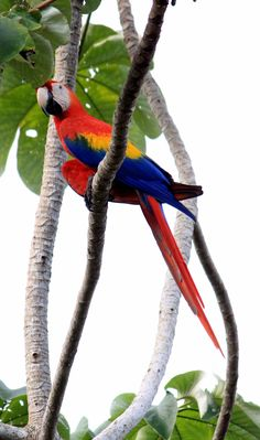 Scarlet macaw - find out where you can see these beautiful birds in Costa Rica in our guide http://mytanfeet.com/costa-rica-wildlife-and-nature/birds-of-costa-rica/