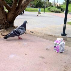 Pigeon vs. Milk!!!