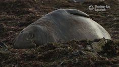 "2,964 Likes, 34 Comments - Monterey Bay Aquarium (@montereybayaquarium) on Instagram: ""Happy 2018! May this new year bring you peace and serenity like an elephant seal sleeping on the…"""