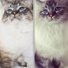 We wish you a #happycaturday . There is some family resemblance between this father and his son both sealtabby  @lillan1977 @anneliecool @adlaineprivat.  #birmans #birman #sacredbirman #heligbirma #birmania #birmanie #pyhäbirma #instabirmans #birmansofinstagram #blueeyes #whitecats #fluffycats #instacats #catsofinstagram #cats #kittens #instakittens #kittensofinstagram #lovecats #birmavanner #tabbycats #toocute #beautifulcats #excellentcats #tortiecats #cutepetclub #sealtabby #bruntabby