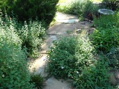 Front yard landscape - natural flagstone pathway surrounded by natives that overflow into each other and over the stone. I love this look especially when the hummingbirds and butterflies come around.