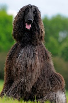 Plucky looking young man! #dogs #pets #Afghanhounds facebook.com/sodoggonefunny