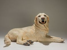 Labrador Sculpture. I was commissioned to make three posthumous sculptures of Labradors from the same family. This is Murphy, who was their Mum's favourite and what a happy boy he was! In nearly all his photos he's doing a happy pant, so it was very important to capture this. He also had a habit of curling his ears back in appeasement, a behaviour which gave him cute 'puppy-ears'.