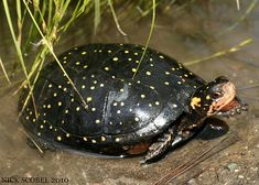 God's creation of the day is Clemmys Guttata, the Spotted Turtle - God's creation of the day is Clemmys Guttata, the Spotted Turtle - iFunny :) Reptiles And Amphibians, Mammals, Cute Baby Animals, Animals And Pets, Land Turtles, Box Turtles, Amazing Animal Pictures, Russian Tortoise, Navy