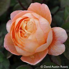 Pflanzen-Kölle Englische Rose 'Lady Emma Hamilton' (Ausbrother) David Austin.  Fruchtig duftende Rosenschönheit mit ungewöhnlicher Blütenfarbe. Im Onlineshop findest Du über 100 weitere Rosensorten aus unserer eigenen Gärtnerei – lass Dich verzaubern von Farbe, Blütenfülle und Duft unserer Rosen. Und das Beste: Die gut durchwurzelte, geschnittene Pflanzware kommt sicher verpackt innerhalb weniger Tage bei Dir zu Hause an. So wird Dein persönlicher Rosentraum wahr!