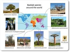 Where did that baobab come from? Australia For Kids, Baobab Tree, Madagascar, Conservation, Centre, Africa, Around The Worlds, Trees, Nature
