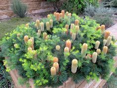 Banksia 'Cherry Candles' in my garden, planted 8 years ago, photo by Karlo Taliana