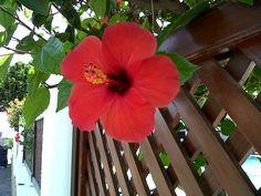 Hibiscus flower..my favorite! Beautiful.