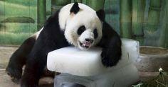 O panda gigante Weiwei deita sobre blocos de gelo para se refrescar dentro de sua jaula no zoológico de Wuhan, na província de Hubei, no centro da China. As temperaturas locais atingiram 36ºC