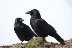 Scientists don masks to find out if crows are holding vigil or something else entirely.