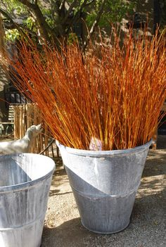 flame willow branches - from deborahsilver.com