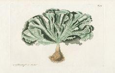 Shaw & Nodder Antique Sea Corals Prints 1795