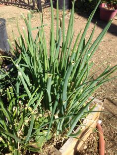Green onions are growing in the ground but we have been harvesting the tops all season and cutting them up like scallions to add to our foods.  As you can see, some of them have grown to a point again while others show the last cutting.