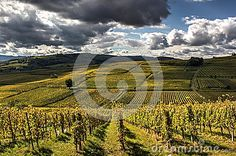 Terraced vineyards with nice deep white clouds