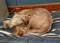 ELDORA, IA - GRAHAM is a Yorkie, Yorkshire Terrier for adoption in Eldora, IA who needs a loving home.