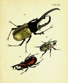Johann Eusebius Voets descriptions and illustrations hartschaaligter insects, Coleoptera  Publication info Erlangen, JJ Palm ,1793-1802. Contributing Library: Cornell University Library BioDiv. Library